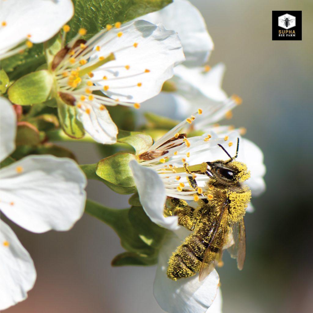 เกสรผึ้ง